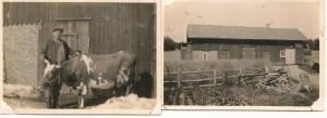 Ladugården och familjens ko